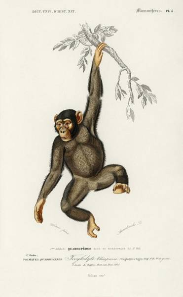 Wall Art - Painting - Chimpangze  Troglodyte Chimpanze Illustrated By Charles Dessalines D  Orbigny  1806-1876  by Celestial Images