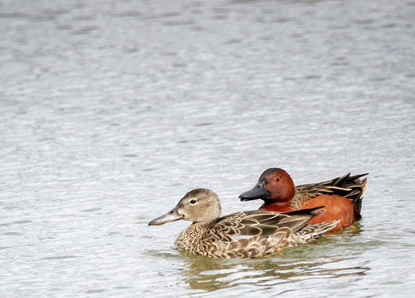 Photograph - Cinnamon Teal by Michael Chatt