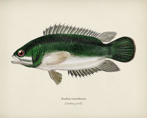 Protein Painting - Climbing Perch  Anabas Testudineus  Illustrated By Charles Dessalines D  Orbigny  1806-1876  2 by Celestial Images