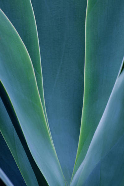 Wall Art - Photograph - Close-up Blue Green Agave Leaves by Darrell Gulin