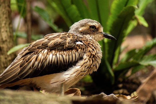 Photograph - Close Up Of A Bush Stone-curlew by Rob D Imagery