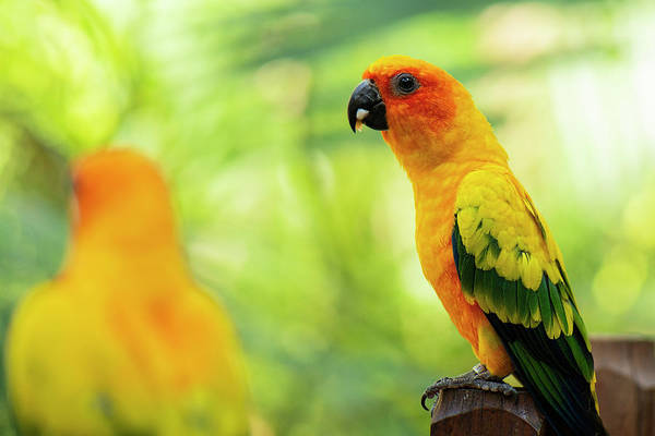 Photograph - Close Up Of A Sun Conure Parrot by Rob D Imagery