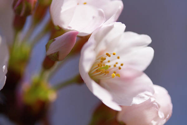 Kanagawa Wall Art - Photograph - Close Up Of Cherry Blossoms, Spring In by Daisuke Morita