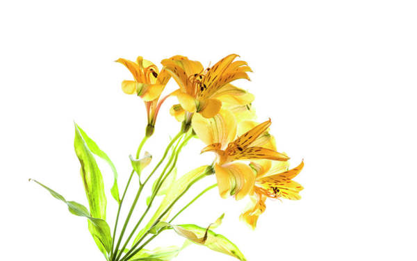 Alstroemeria Photograph - Close-up Of Peruvian Lily Flowers by Panoramic Images
