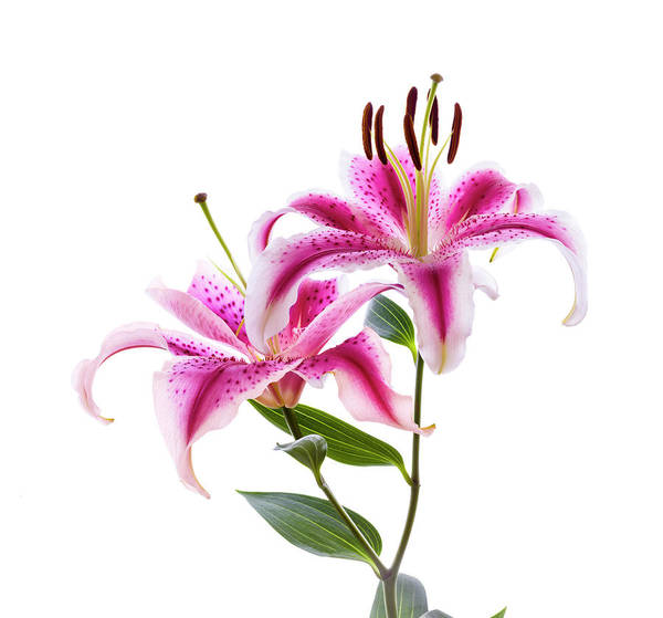 Wall Art - Photograph - Close-up Of Stargazer Lily by Panoramic Images