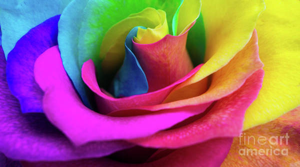 Wall Art - Digital Art - Closeup Of A Rainbow Colored Rose In Full Bloom by Amy Cicconi
