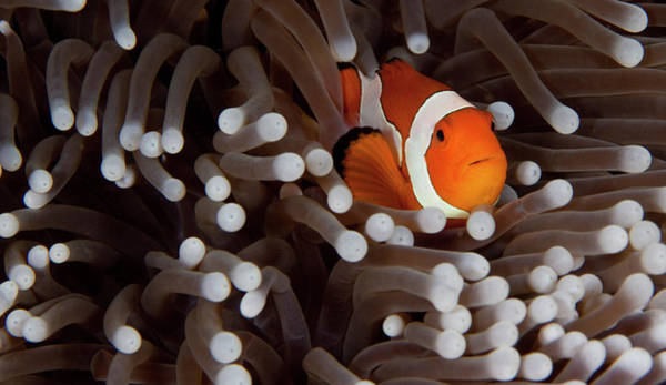 Underwater Photograph - Clownfish by Cdascher