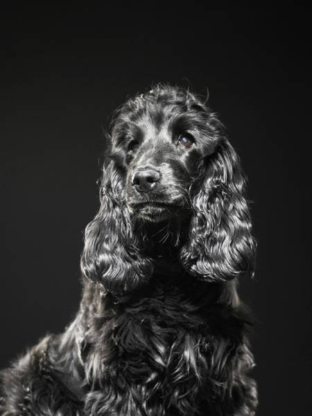 Cocker Spaniel Photograph - Cocker Spaniel by Michael Blann