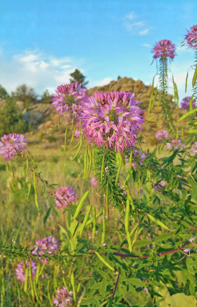 Spider Rock Photograph - Colorado Pink Wildflowers by Lorraine Baum