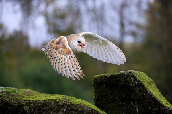 Wall Art - Photograph - Common Barn Owl Tyto Alba Adult Flying Calling Captive Germany by imageBROKER - Juergen  Christine Sohns