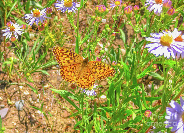 Photograph - Coronis Fritillary Butterfly by Benny Marty