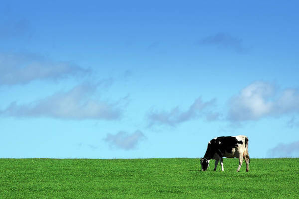 Wall Art - Photograph - Cow In Field by Shaunl
