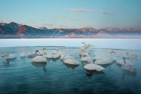 Urban Wildlife Photograph - Cygnus Cygnus, Whooper Swans, On A by Mint Images/ Art Wolfe
