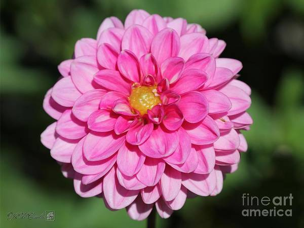 Wall Art - Photograph - Dahlia Named Peter by J McCombie