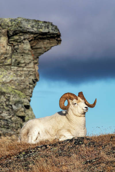 Wall Art - Photograph - Dall Sheep Ram  Ovis Dalli  In Denali by Doug Lindstrand