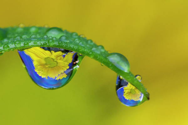 Wall Art - Photograph - Dew Reflecting Flowers From Asiatic Lily by Darrell Gulin