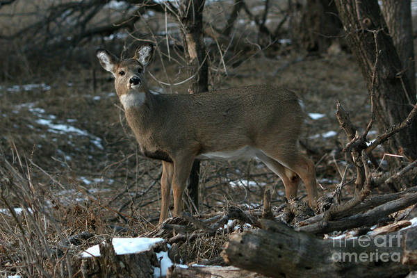 Photograph - Doe In The Trees by Lori Tordsen