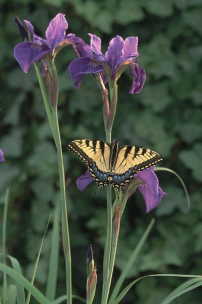 Photograph - Eastern Tiger Swallowtail On Iris by Michael Lustbader
