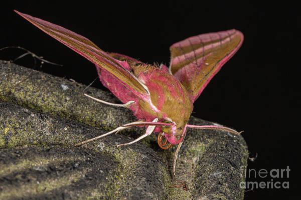 Photograph - Elephant Hawk Moth by Brian Roscorla