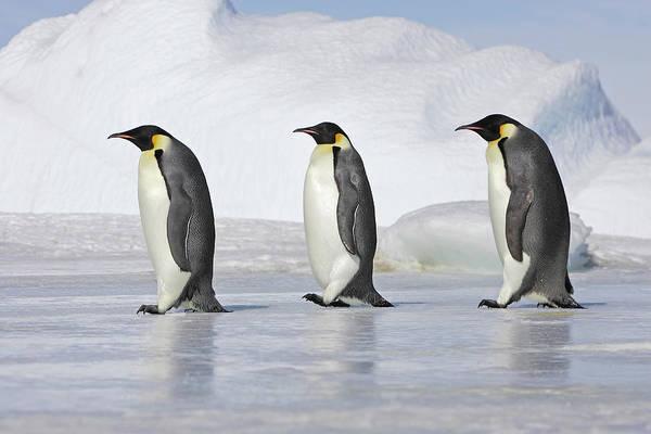 Emperor Photograph - Emperor Penguin by Sylvain Cordier