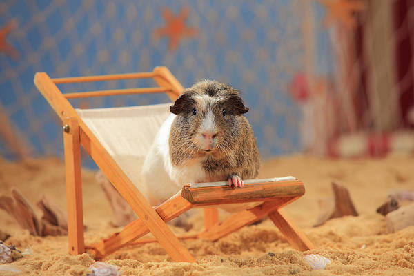 Wall Art - Photograph - English Crested Guinea Pig Sitting In A Deck Chair In The Sand Summer Beach Decoration by imageBROKER - P Wegner