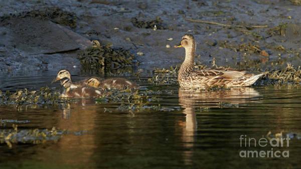 Photograph - Female Mallard And Ducklings Swimming by Pablo Avanzini