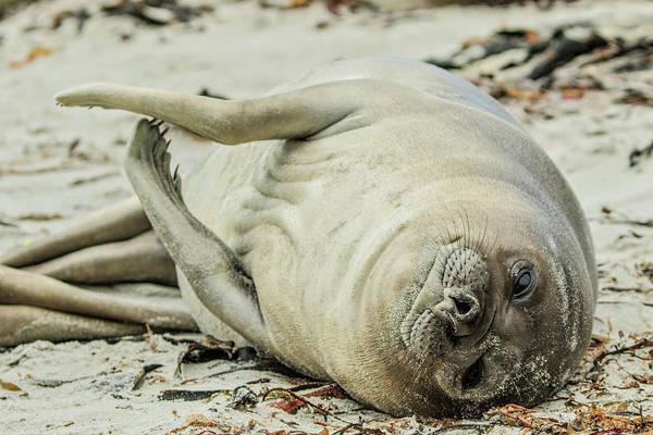 Wall Art - Photograph - Female Southern Elephant Seal, Falkland by Adam Jones