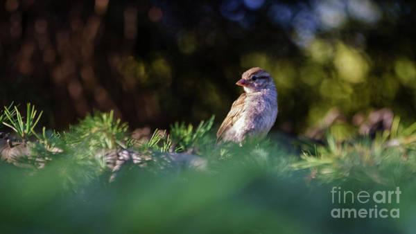 Photograph - Female Spanish Sparrow Passer Hispaniolensis by Pablo Avanzini