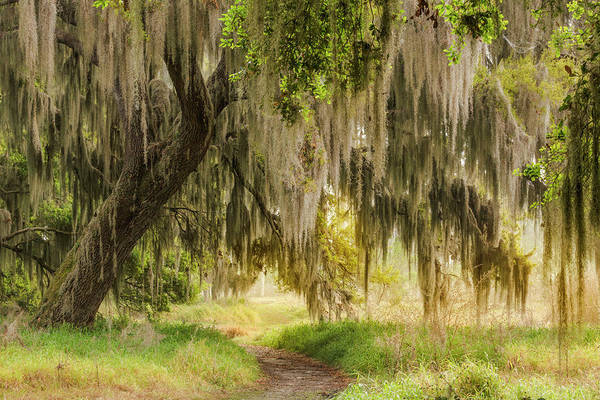 Wall Art - Photograph - Footpath Beneath Live Oaks Draped by Adam Jones