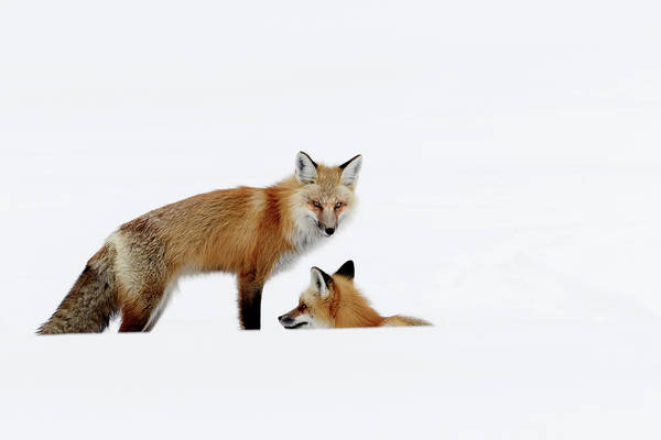 Photograph - Fox by Ronnie and Frances Howard