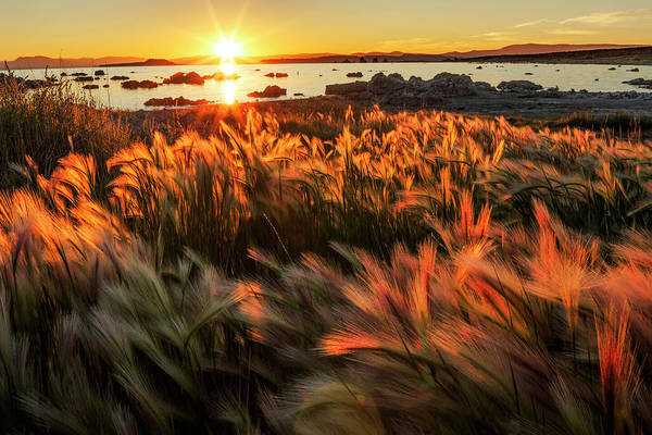 Wall Art - Photograph - Foxtail Grass And Mono Lake At Sunrise by Adam Jones