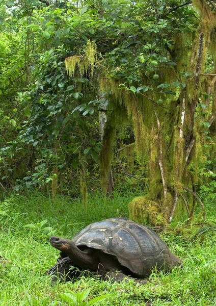Wall Art - Photograph - Galapagos Giant Tortoise by Michael Lustbader