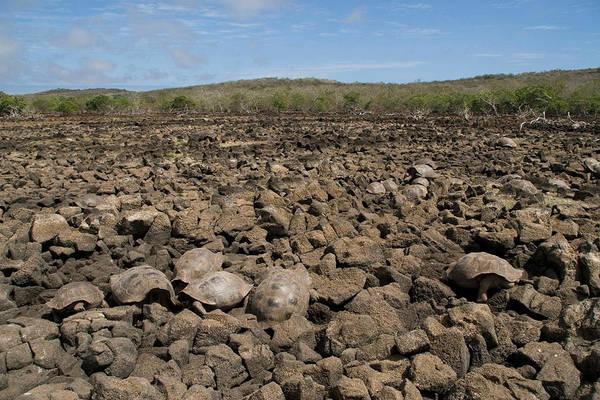 Wall Art - Photograph - Galapagos Giant Tortoises by David Hosking