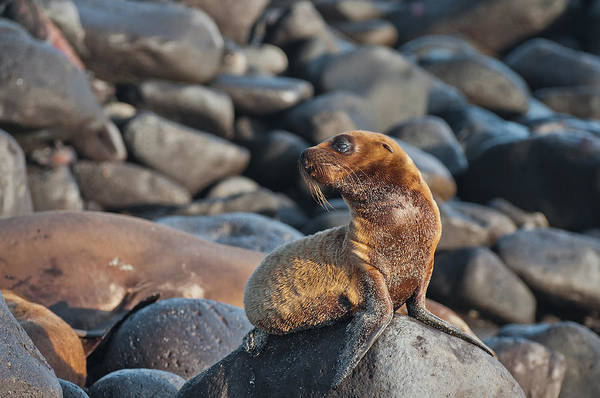 Wall Art - Photograph - Galapagos Sea Lion Pup by Michael Lustbader