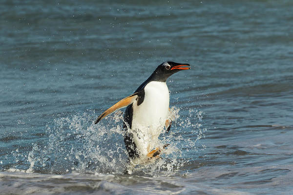Wall Art - Photograph - Gentoo Penguin In Surf, Falkland Islands by Adam Jones