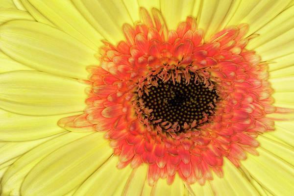 Wall Art - Photograph - Gerber Daisy, Asteraceae by Adam Jones