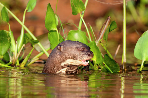 Wall Art - Photograph - Giant River Otter by William Mullins