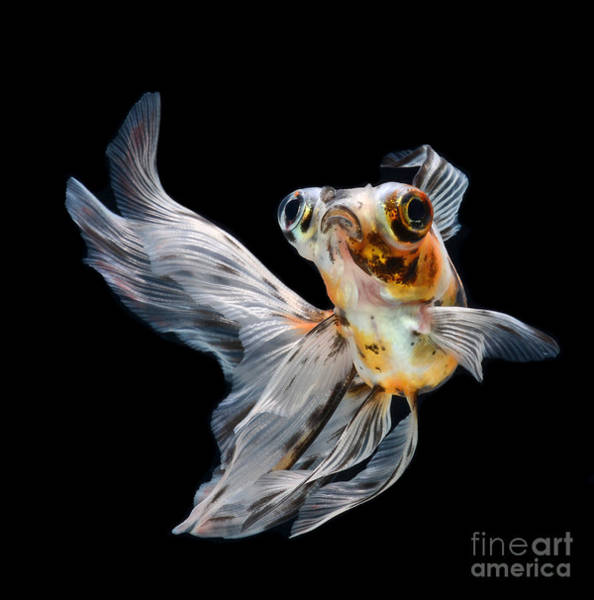 Wall Art - Photograph - Goldfish Isolated On Black Background by Bluehand