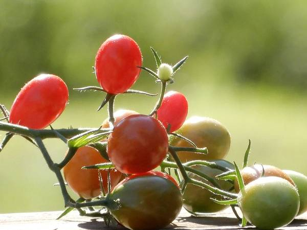 Photograph - Grape Tomatoes by Tina M Wenger