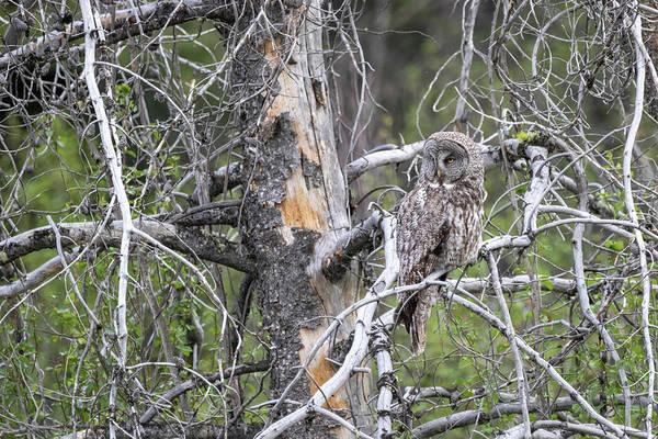 Photograph - Great Gray Owl by Michael Chatt