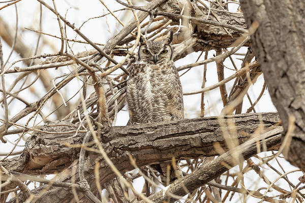 Photograph - Great Horned Owl Keeps Watch by Tony Hake