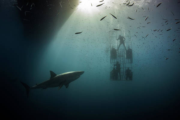 Photograph - Great White Shark by Nicole Young