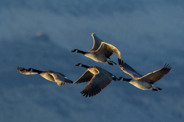 Wall Art - Photograph - Greater Canada Geese Flying by Ken Archer