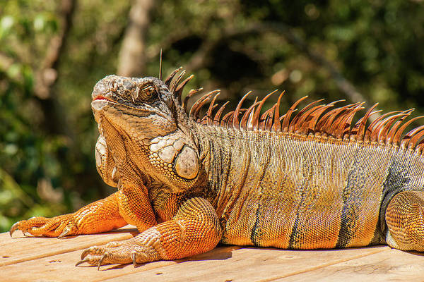 Photograph - Green Iguana by Rob D Imagery