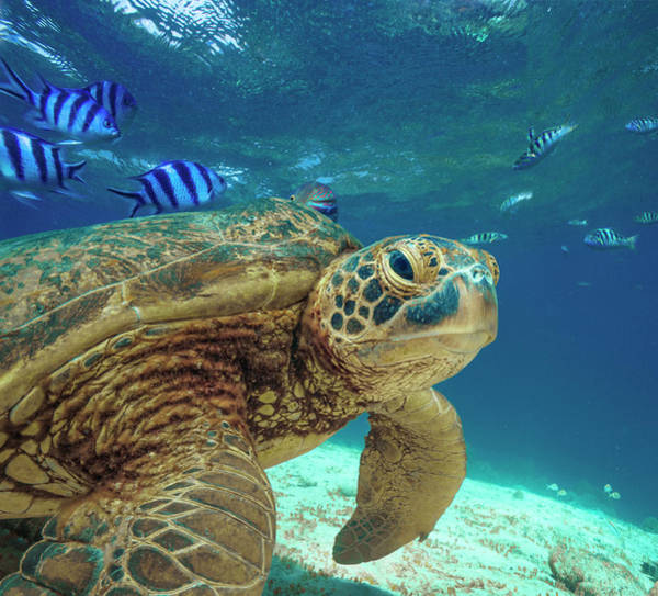 Wall Art - Photograph - Green Sea Turtle, Balicasag Island by Tim Fitzharris