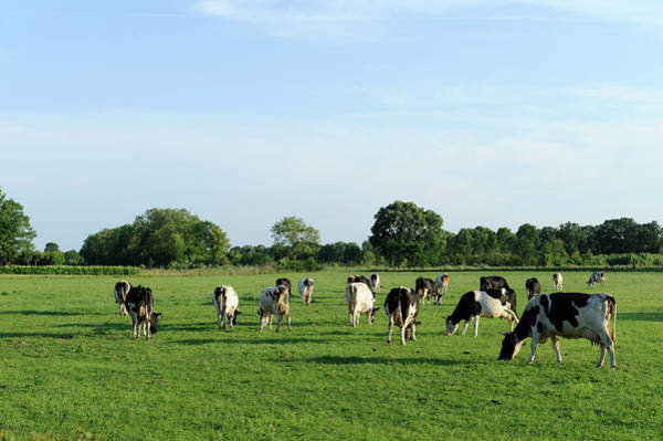 Wall Art - Photograph - Group Of Holstein Cows In A Meadow by Vliet
