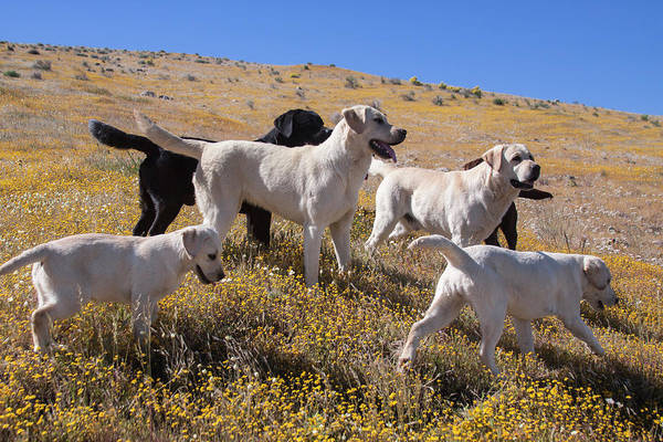 Wall Art - Photograph - Group Of Labrador Retrievers On A Hill by Zandria Muench Beraldo