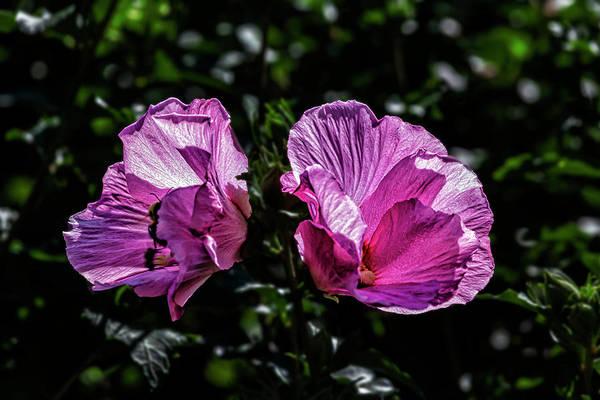 Photograph - Hibiscus by Robert Ullmann