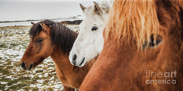 Photograph - Horses Of Icelandic Race In A Snowy Enclosure, Environmentalists Try To Preserve The Purity Of The Species. by Joaquin Corbalan