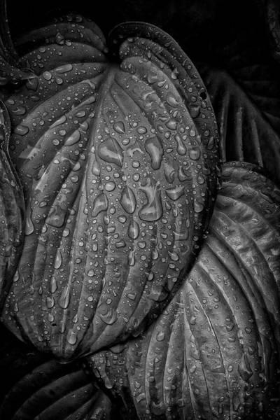 Photograph - Hosta And Raindrops by Robert Ullmann